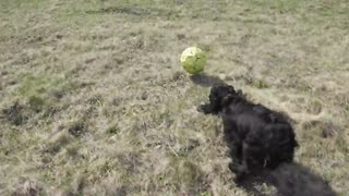 Dog playing to football