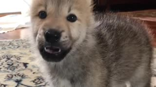 Adorable wolfdog pup howls for the very first time