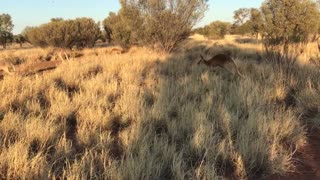 Morning Walk With Kangaroos - Video