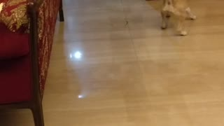 Small tan dog with blue collar chases red laser light on floor  - Video
