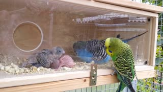 parrots and his newely born babies  - Video