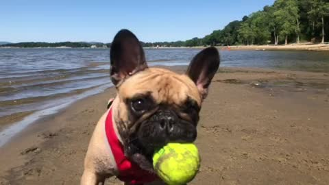 Frenchie Playing Fetch