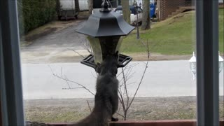 Sneaky squirrel steals from bird feeder - Video