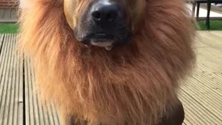 Dog or lion ?