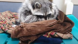 Raccoon is sitting uncomfortably and dozing off.