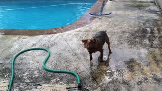 Yorkie plays with water hose - Video