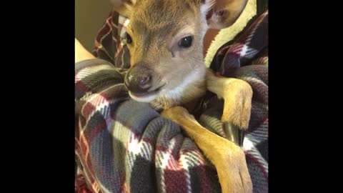 Rescue Fawn takes a bottle