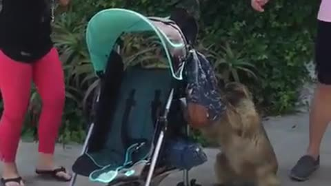monkey trying to rob tourists