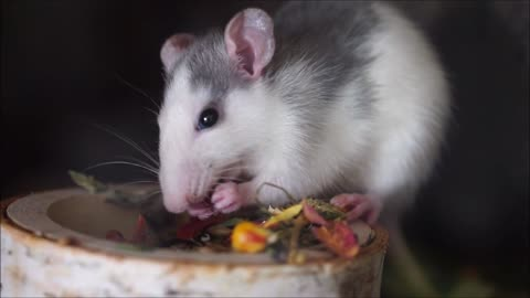 Hungry Hungry White Mouse Eats Raw Food