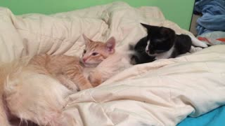 Kitten makes chew toy out of dog's tail - Video