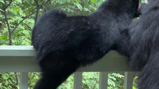 Hungry Cub Climbs Porch Banister