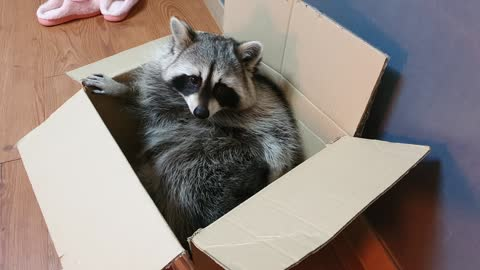 Raccoon acts like a cat when it comes to empty boxes