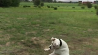 White dog trying to catch orange ball in  slow motion - Video