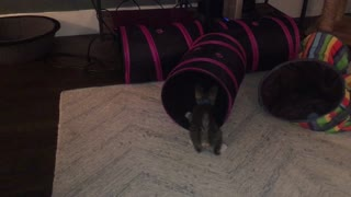 Kitten loves his tunnel! - Video