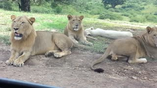Lioness Tries To Hitch A Ride At Drive Through Safari - Video