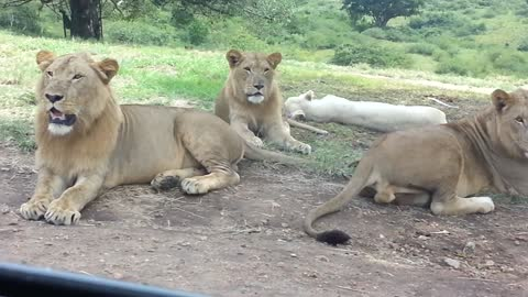 Lioness Tries To Hitch A Ride At Drive Through Safari