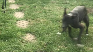 Ecstatic Dog Shows Her Backyard Zoomies