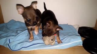 Young baby chihuahua puppie playing with toy cat