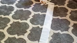Corgi Carries off a Long Trail of Toilet Paper