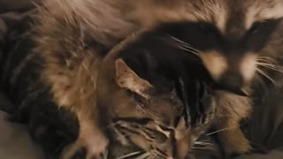 Kitty Tolerates Clingy Raccoon