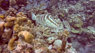 Grouper protects fish from diver