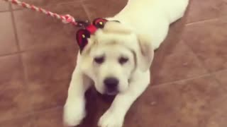 Exhausted Puppy Crawls On Belly During Walk  - Video