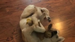 Dog hugging bunny - Video