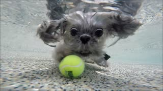 Shih Tzu Wookie dives underwater in beach entry for his kong tennis ball dog toy
