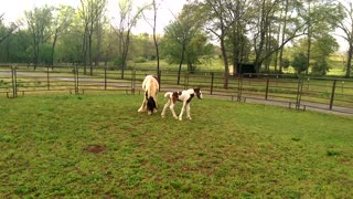 "Gypsy Horse ""Joe's Song Sung Blue"" 2 Days Old"