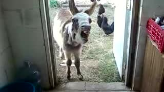 Donkey Crows! - Video
