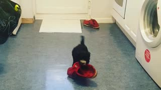 Small black dog carries red shoe that is larger than him  - Video