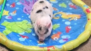 Mini pig loves to play in new splash pad