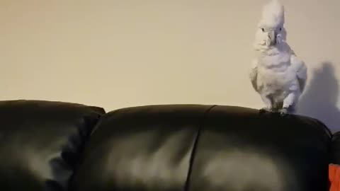 Cockatoo is Happy When Owner Disappears