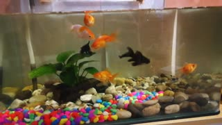 Gold fish crazy on food