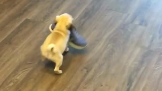 Newborn puppy picks up shoe - adorably struggles to carry it - Video