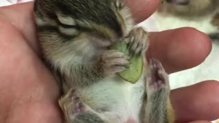 Tiny Baby Chipmunk Nibbles On Snack And We Just Can't Handle The Cuteness - Video