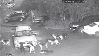 Stray Dogs Attack Car - Video