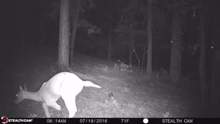 Rare Three Legged Deer - Video