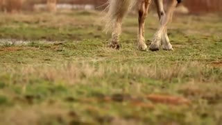 A BEAUTIFUL HAFLINGER STALLION IN ACTION! - Video