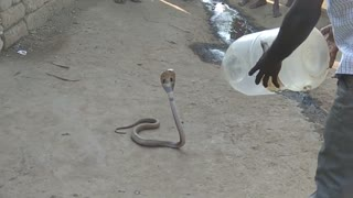This Man is playing with dangerous snake  - Video