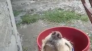 Super relaxed dog really enjoys soothing bath time