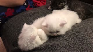 white Persian kittens fighting! - Video