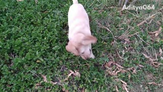 Slow motion video of golden retriever puppy running in a bush
