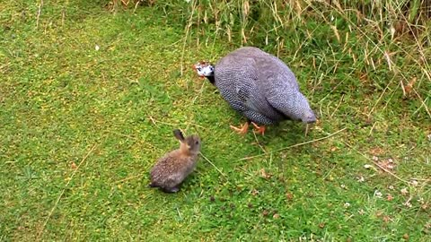 Baby rabbit befriends Guinea Fowl