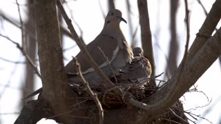 White-Winged Dove, Spring Texas 190327-2