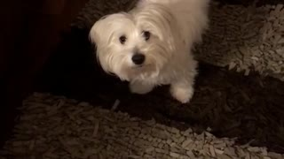 White dog hides under coffee table because shower