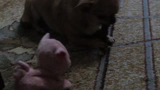 Small dog Chihuahua violently protects its bone from the toy pig