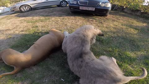 3 years old Pit bull vs. 6 months old,original macedonian dog, Sar-planinec.