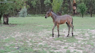 Foal Dances in the Rain in During Long Drought