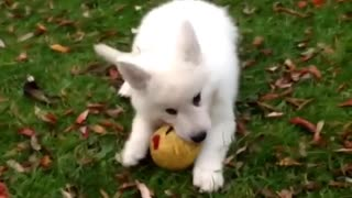 Puppie Husky Playing with Ball OutDoors